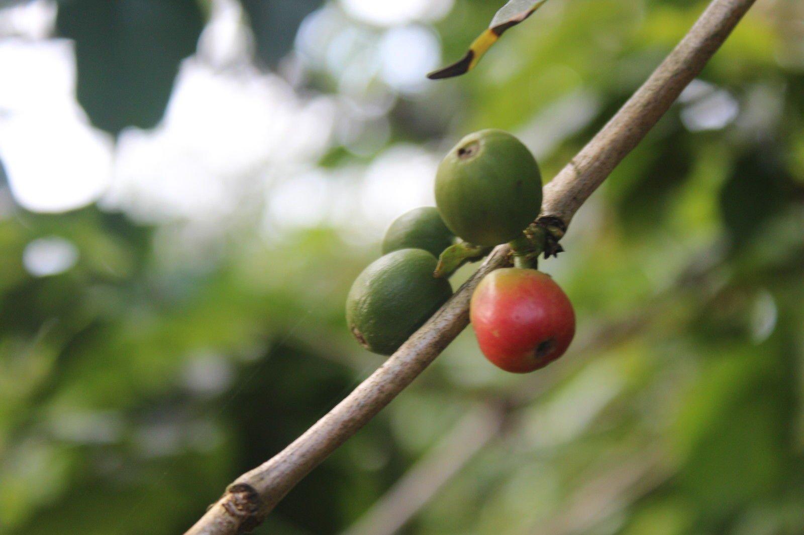 5-Kenyan-Unroasted-Green-Coffee-Beans-Kenya-Ab-_57
